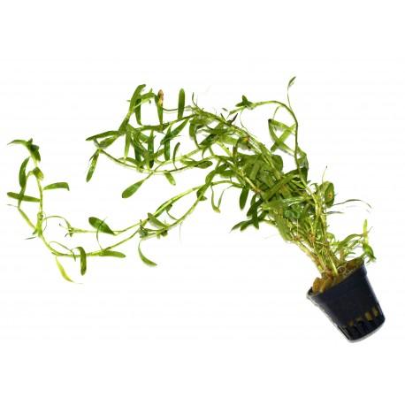 Heterantnera zoterifolia