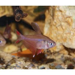 Tétra rose - Hyphessobrycon bentosi