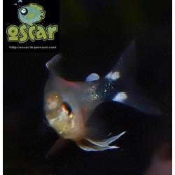 Tétra mojarra - Hyphessobrycon elachys