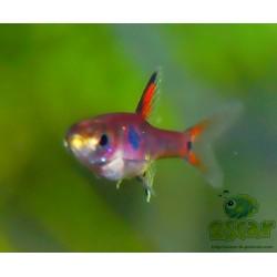 Rasbora nain - Boraras maculatus
