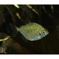 Metynnis tâcheté - Metynnis maculatus