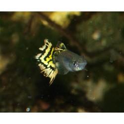 Guppy chili tiger- Poecilia reticulata