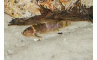 Synodonte nain - Microsynodontis batesii