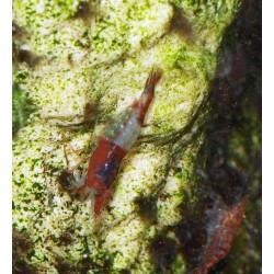 Crevette rili blue - Neocaridina davidii