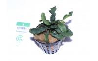 """Bucephalandra """"green wavy"""""""
