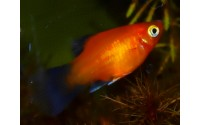 Platy rouge wagtail - Xiphophorus maculatus