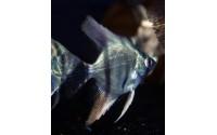 Scalaire - Pterophyllum scalare commun bleu