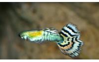 Guppy Tiger - Poecilia reticulata