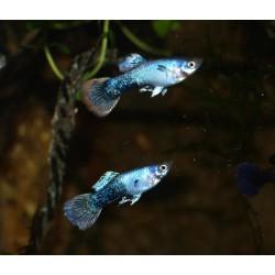 Guppy shakthi batik - Poecilia reticulata