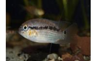 Krobia du Rio Xingu - Krobia xinguensis