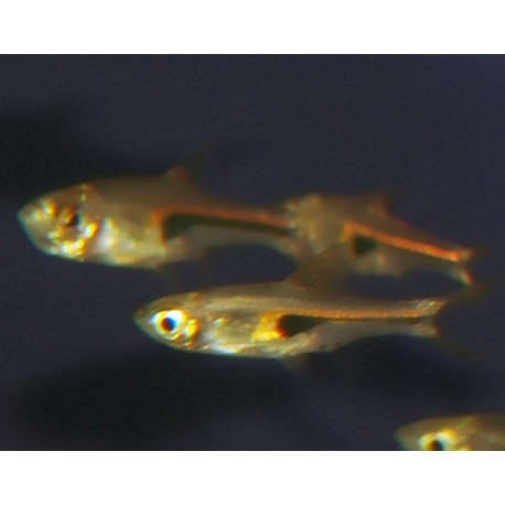 Poisson arlequin nain - Trigonostigma hengeli