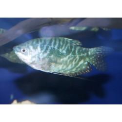 Gourami bleu - Trichopodus trichopterus