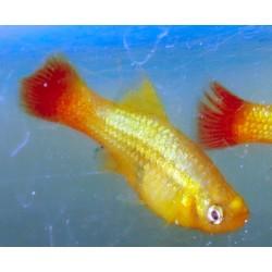 Platy perroquet - Xiphophorus variatus
