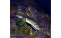 Gobie sauteur nain - Periophthalmus novemradiatus