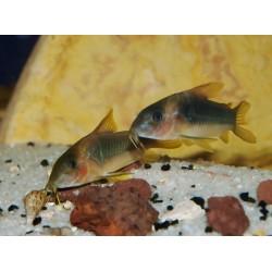 Cory vert doré - Corydoras melanotaenia