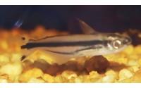 Silure de verre africain - Pareutropius debauwi