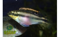 Pelmato - Pelvicachromis pulcher