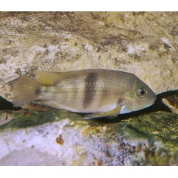 Hypsophrys nematopus