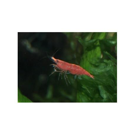 Crevette sakura - Neocaridina davidii