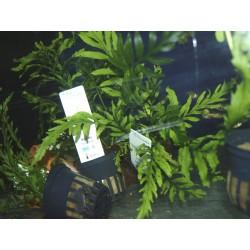 Fougère du Congo - Bolbitis heudelotii