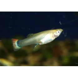 Guppy red golden - Poecilia reticulata