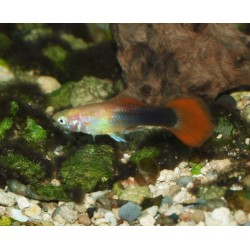 Guppy tuxedo rouge - Poecilia reticulata