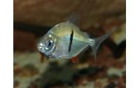 Myleus à barre noire - Myleus schomburgkii