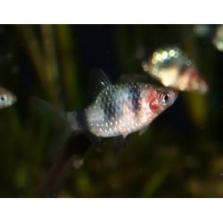 Barbus rubis noir - Pethia nigrofasciata