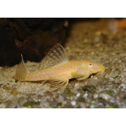 Ancistrus gold femelle