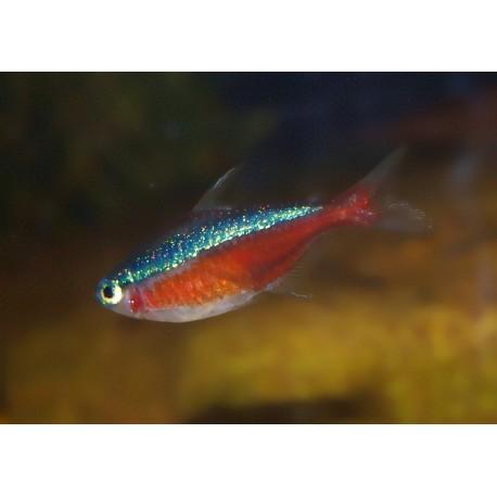 Néon cardinalis - Paracheirodon axelrodi