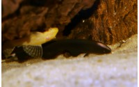 Fantôme noir - Apteronotus albifrons