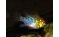 Mikrogeophagus ramirezi bleu tête rouge
