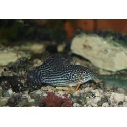 Cory de Sterba - Corydoras sterbai