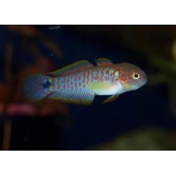 Tateurndina ocellicauda mâle