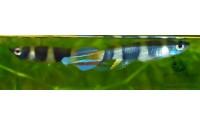 Killi clown - Epiplatys annulatus