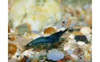 Crevette noire - Sélectionnée