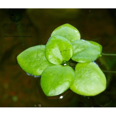 Grenouillette - Limnobium laevigatum