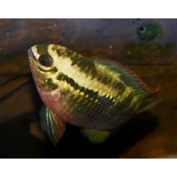 Acara à poitrine rouge - Laetacara dorsigera