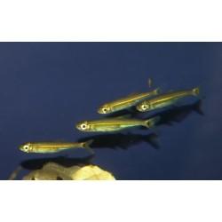 Tétra lézard à ligne verte - Iguanodectes spilurus