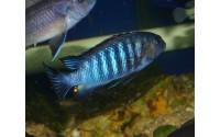 """Tropheops tropheops """"Makokola reef"""""""