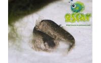 Loche de torrent chinoise - Pseudogastromyzon myersi