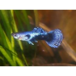 Guppy blue jeans - Poecilia reticulata