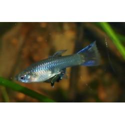 Guppy blue sapphire - Poecilia reticulata