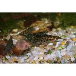Crevette noire - Déclassée