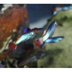 Guppy coral tail - Poecilia reticulata