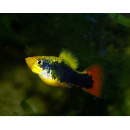 Platy hawaï - Xiphophorus variatus