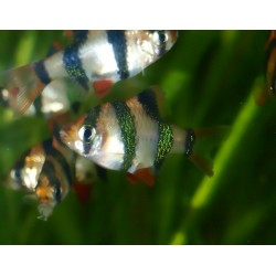 Barbus à huit bandes - Eirmotus octozona