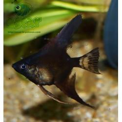 Scalaire noir - Pterophyllum scalare