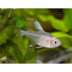 """Tétra rose à pointes blanches - Hyphessobrycon bentosi """"white fin"""""""