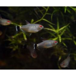 Tétra yeux rouges - Moenkhausia sanctaefilomenae